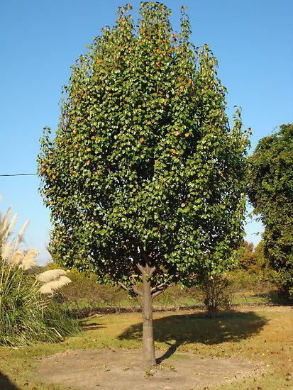 Дерево груши Москвичка имеет коническую крону