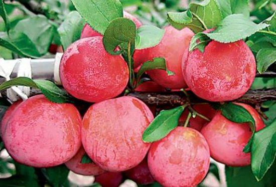 Крупные плоды сливы Персиковой