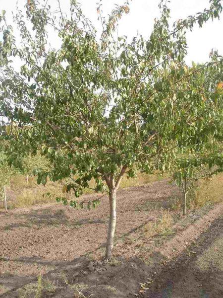 Молодые деревья сливы