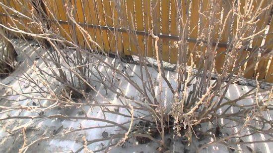 Кусты смородины весной