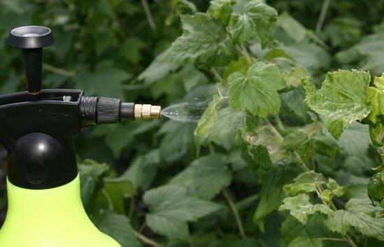 Обработка смородины биопрепаратами