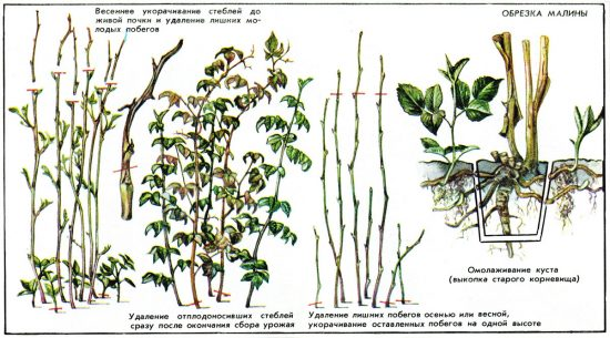 Повышение урожайности малины