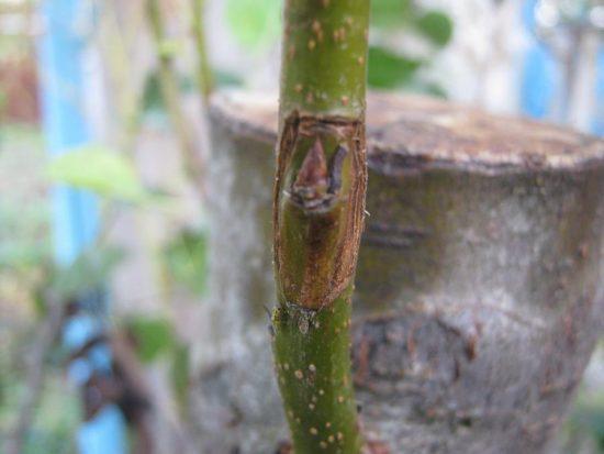 Дерево после окулировки