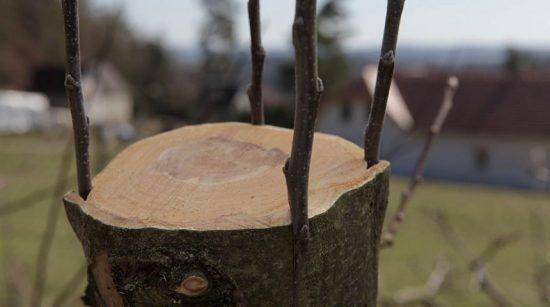 Дерево после прививки за кору