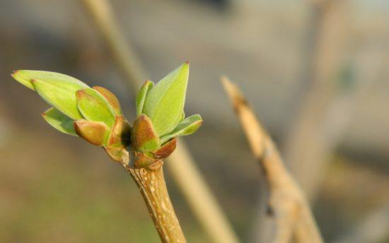 Распустившиеся листья груши