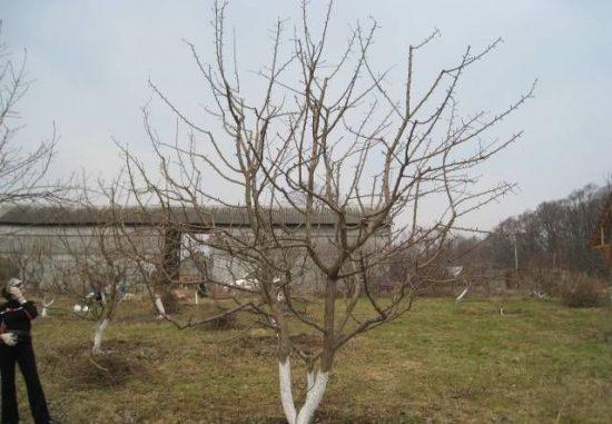 Грушевое дерево весной