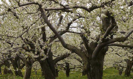 Старые сливовые деревья