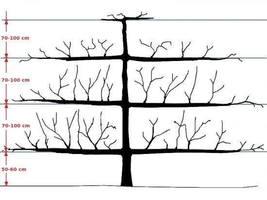 Схема формирования кроны-пальметты