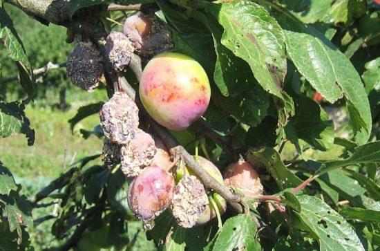 Заражённые побеги и плоды