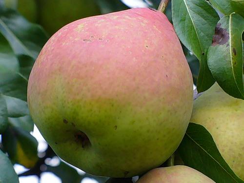 Плод груши Любимица Яковлева