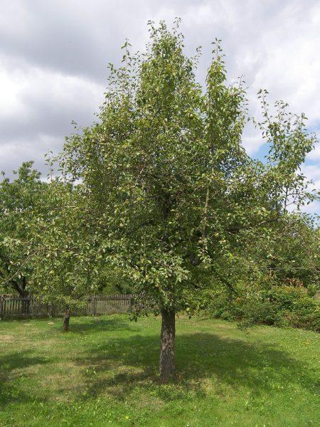 Высокорослое раскидистое дерево груши Осенняя Яковлева