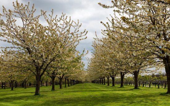Ряды высокорослых грушевых деревьев