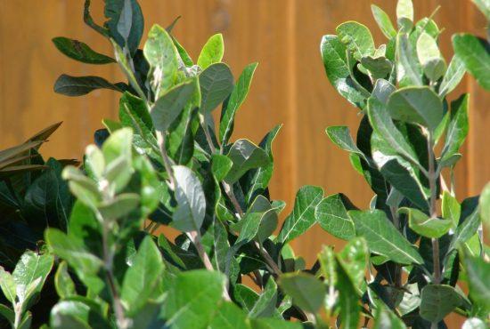 Листья взрослой фейхоа
