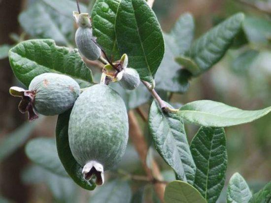 Плоды фейхоа на ветке