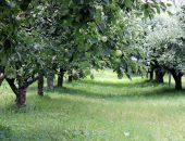 сад яблони