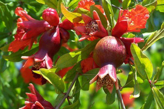 Гранат с цветами и завязями