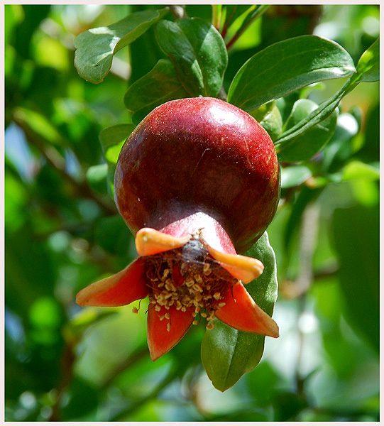Гранатовый плод