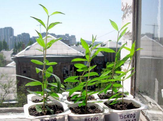 Молодые растения граната на солнце
