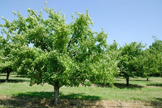 Высокорослое дерево сливы с округлой кроной