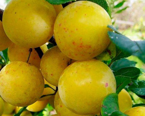 Плоды сливы Медовая желтая