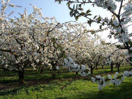 Цветущие деревья сливы