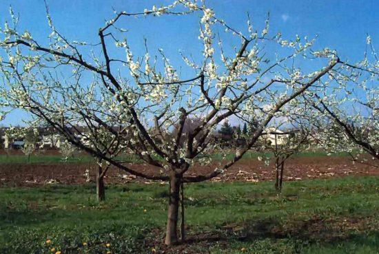 Дерево сливы с чашевидной кроной