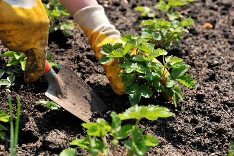 Посадка клубники осенью • когда и как посадить
