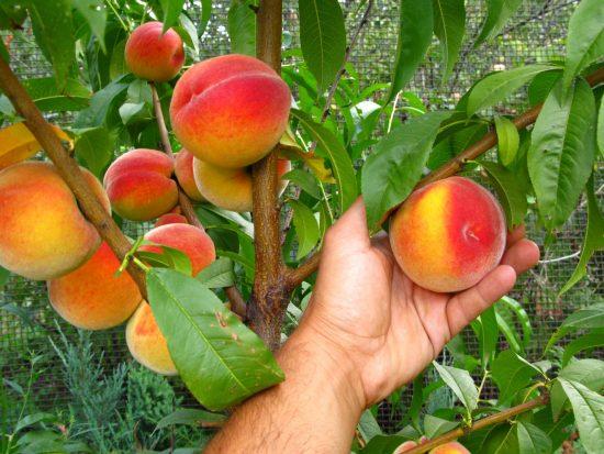 Дерево персика Редхейвен с плодами