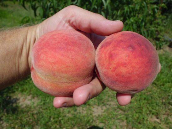 Персики Редхейвен в руке