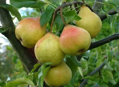 Плоды груши сорта Осенняя Яковлева