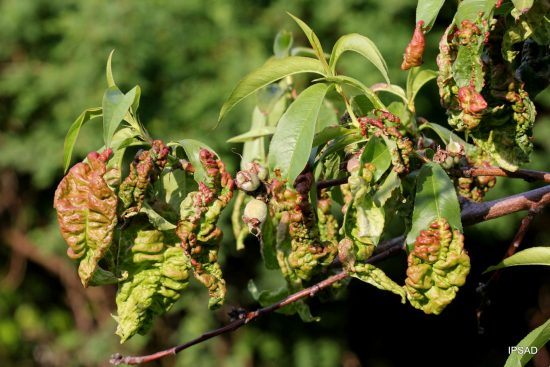 Листья персика, поражённые курчавостью