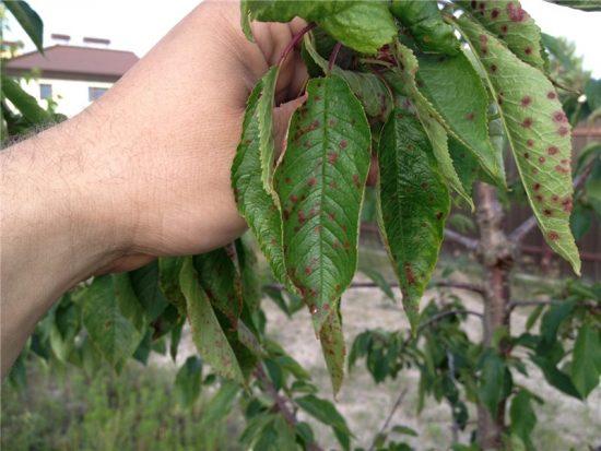 Клястероспориоз на листьях дерева
