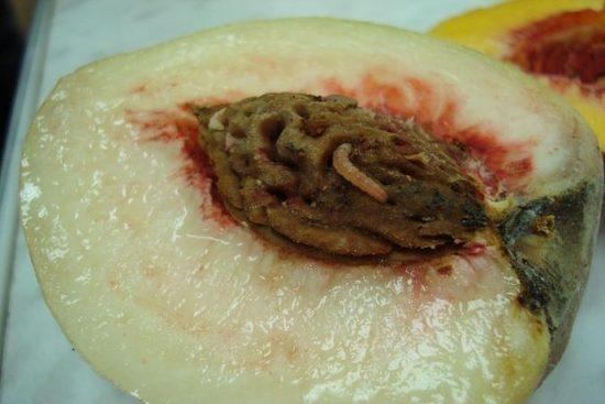 Личинка восточной плодожорки внутри персика