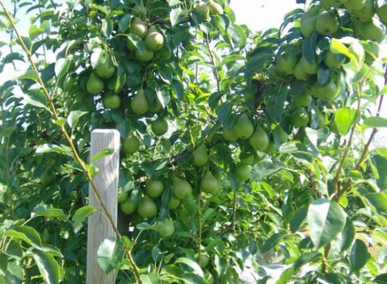 Плоды груши Просто Мария на дереве