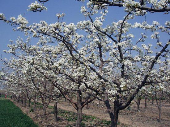 Цветущие деревья груши