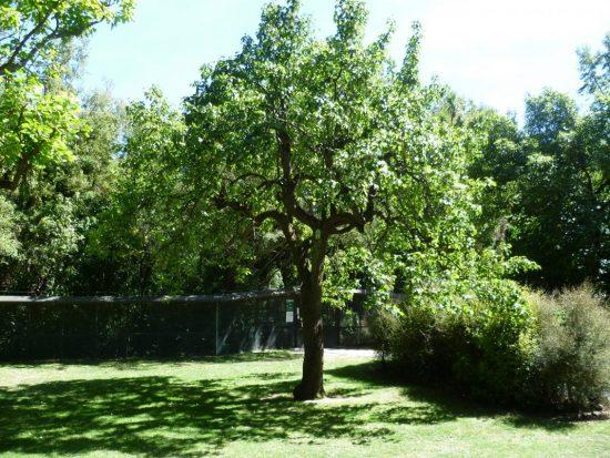 Дерево груши с широкопирамидальной кроной
