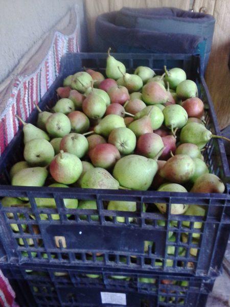Собранные плоды Любимицы Клаппа