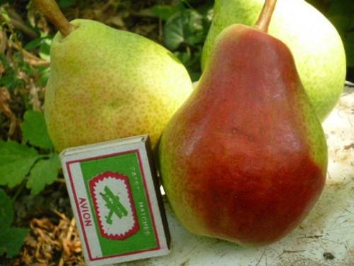 Плоды сорта Любимица Клаппа