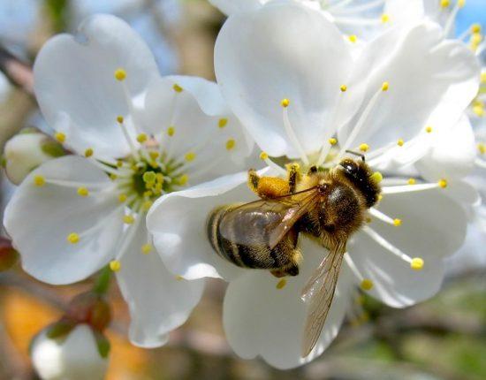Пчела опыляет цветок