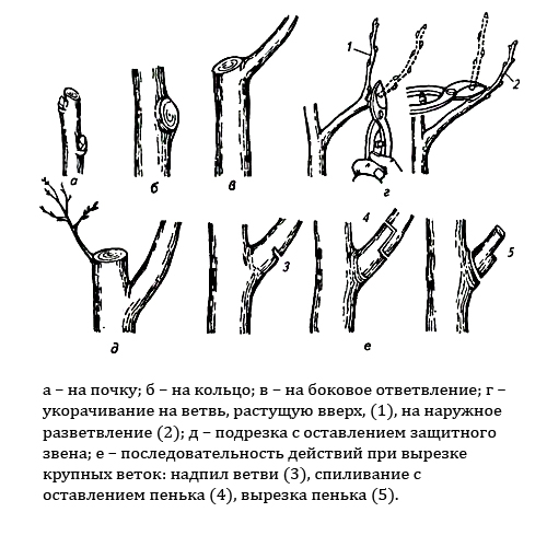 Техника выполнения среза ветвей сливы