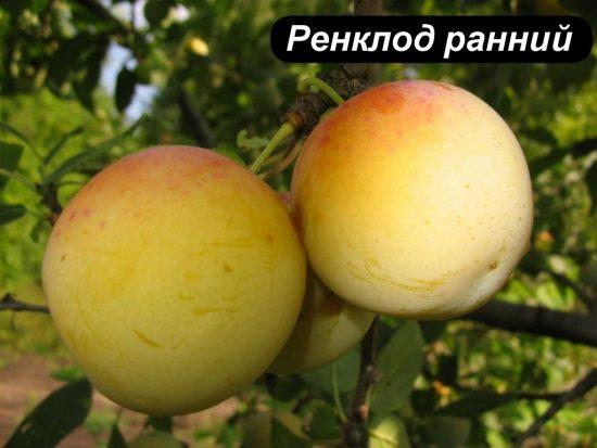 Плоды сливы Ренклод ранний