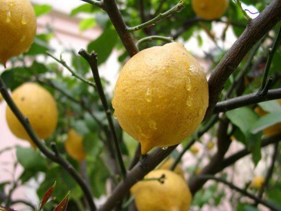 Лимон после дождя