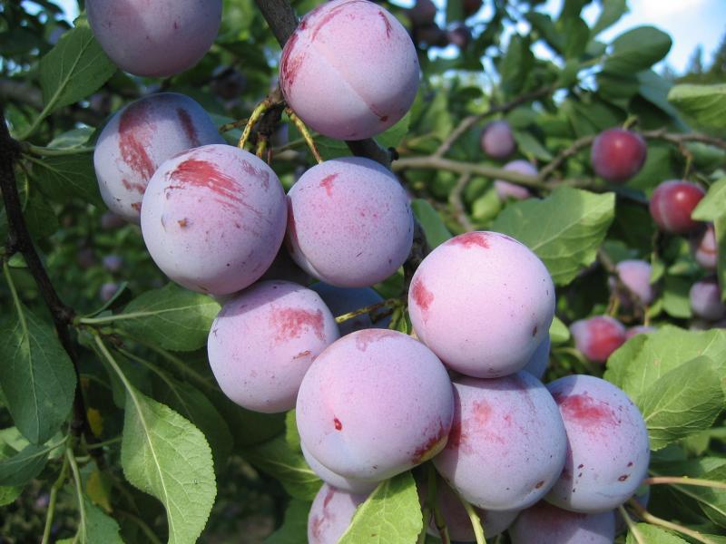 Слива Анна Шпет: старинный урожайный немецкий сорт