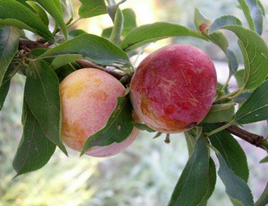 Плоды сливы сорта Память Тимирязева