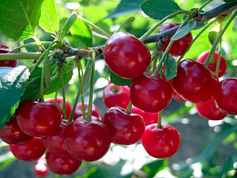 Вишня Малиновка: урожайный сорт отечественной селекции
