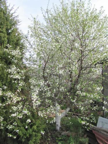 Цветущее дерево вишни Малиновка