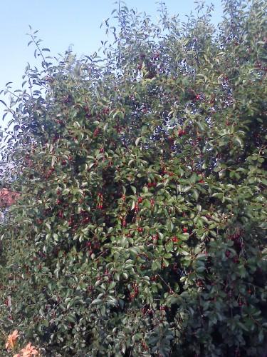 Дерево вишни Малиновка с плодами