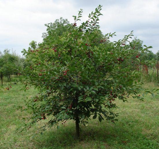 Дерево вишни с округлой густой кроной