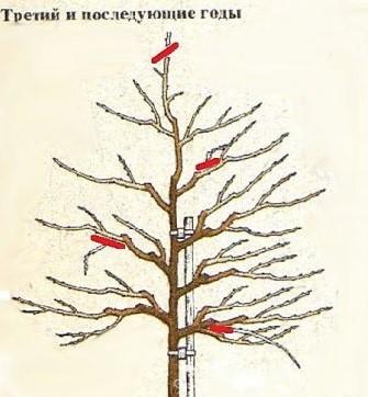Рисунок обрезки дерева на 3-й и последующие годы