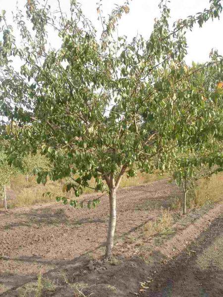 Дерево сливы Алёнушки